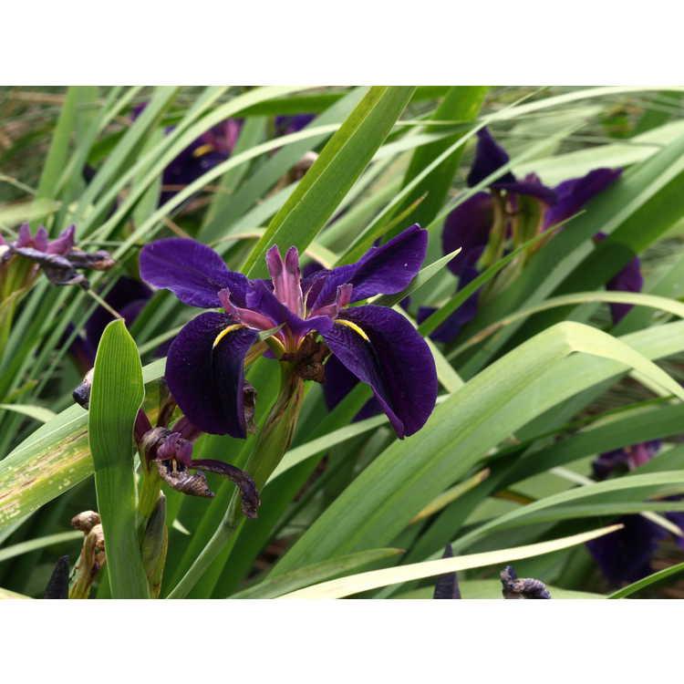 Iris 'Black Gamecock' - black Louisiana iris