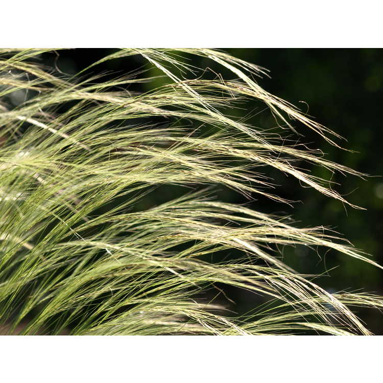 Stipa lessingiana 'Capriccio' - feather grass