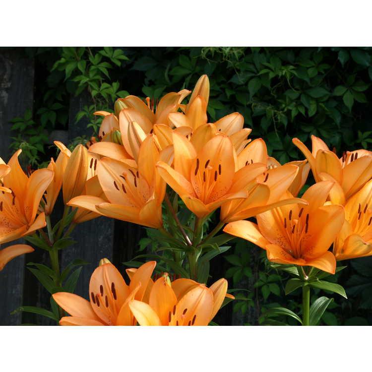 Lilium 'Orange Tycoon'