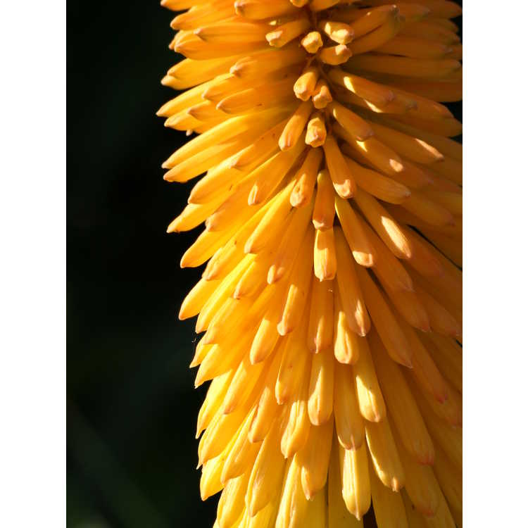 Kniphofia 'Gladness' - red-hot poker