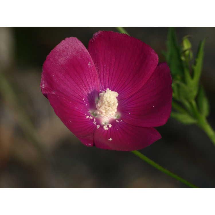Callirhoe bushii