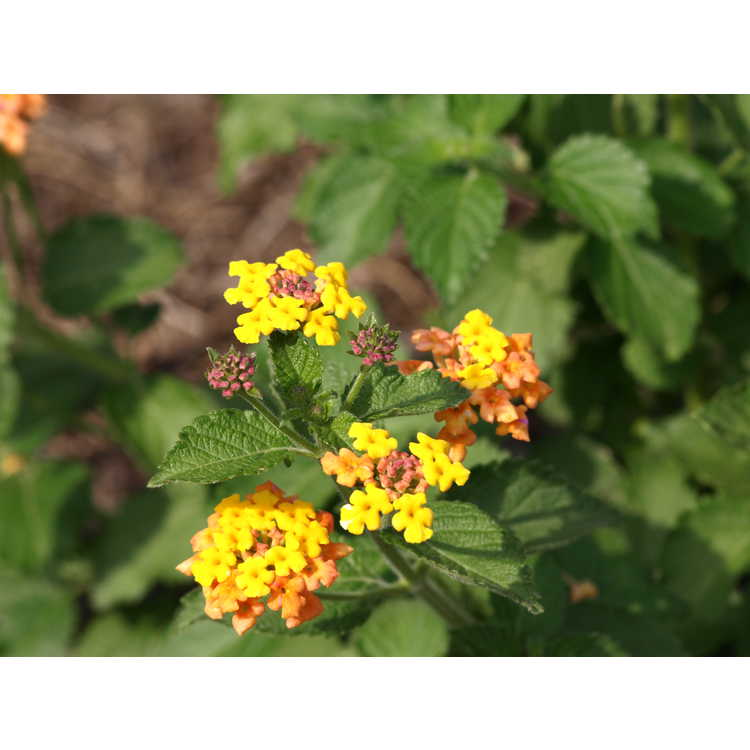 Lantana camara Ham and Eggs orange sport