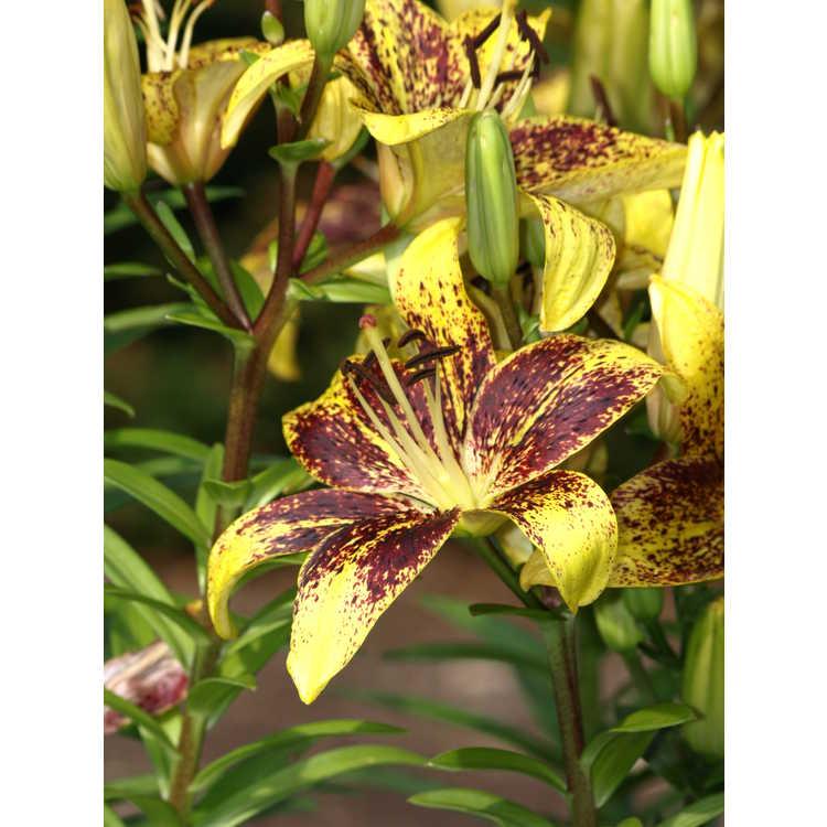 Lilium 'Kentucky' - hybrid lily