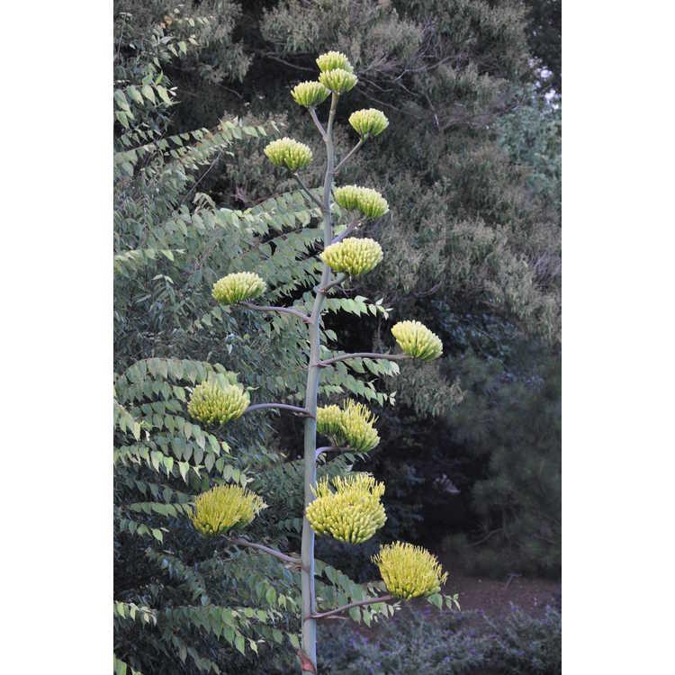 Agave asperrima - rough agave