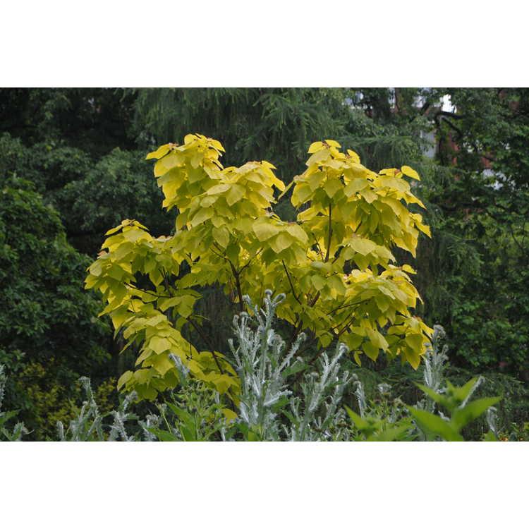 Catalpa bignonioides 'Aurea' - gold-leaf catalpa