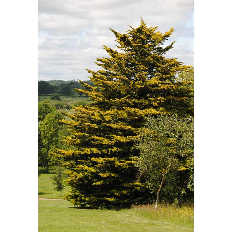 Cupressus macrocarpa 'Golden Pillar' - golden Monterey cypress