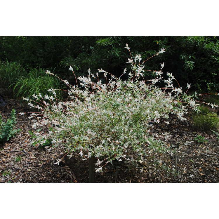 Salix integra 'Hakuro Nishiki' - variegated willow
