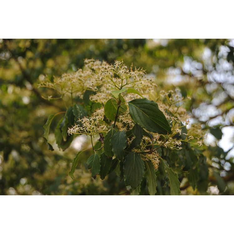 Cornus walteri - Walter's dogwood