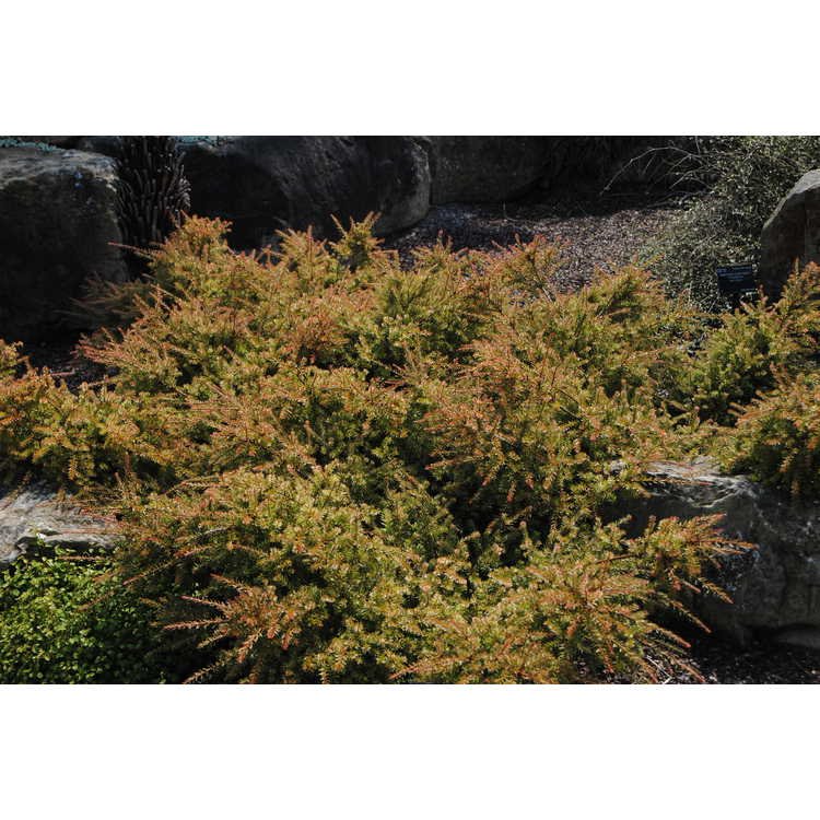 Podocarpus 'County Park Fire' - dwarf plum pine