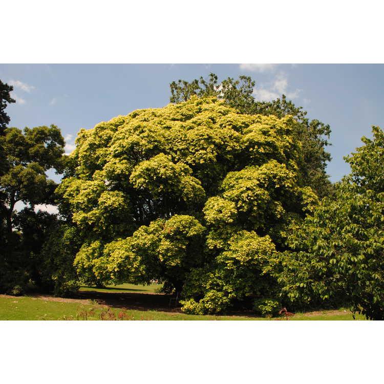 Acer cappadocicum subsp. cappadocicum 'Aureum'
