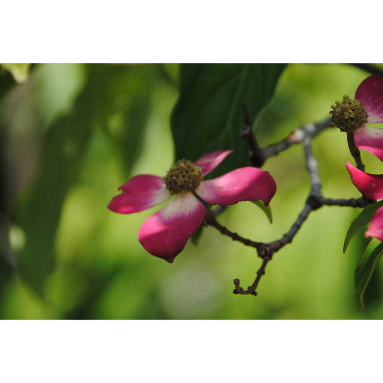 Cornus capitata - Himalayan evergreen dogwood