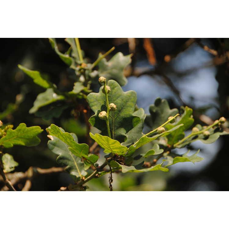 Quercus robur - English oak