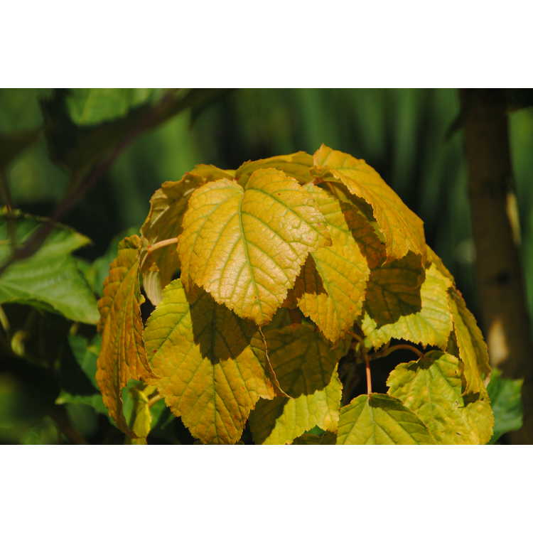 Acer rufinerve 'Winter Gold'
