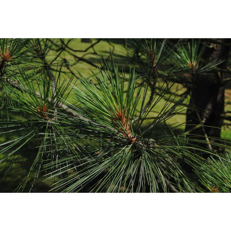 Pinus jeffreyi - Jeffrey's pine
