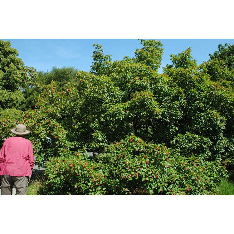 Acer tataricum subsp. tataricum