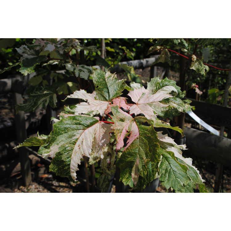 Acer pseudoplatanus 'Simon-Louis Frères'