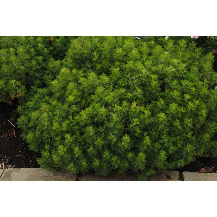 Artemisia abrotanum - Southernwood