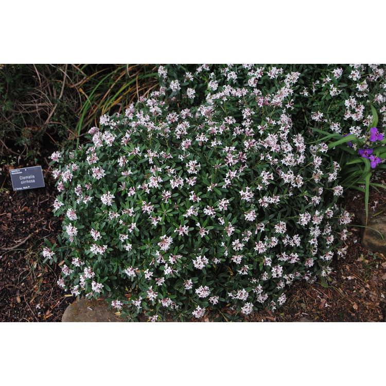 Daphne ×transatlantica 'Blafra'