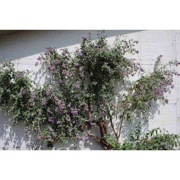 Buddleja crispa - curly butterfly-bush