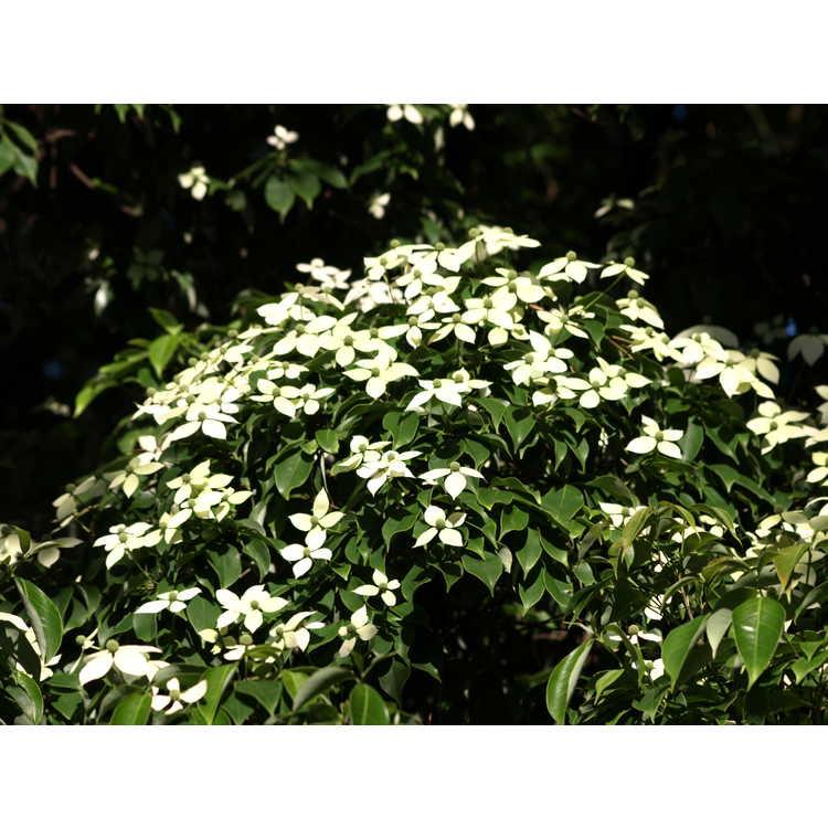 Cornus elliptica 'First Choice' - evergreen flowering dogwood