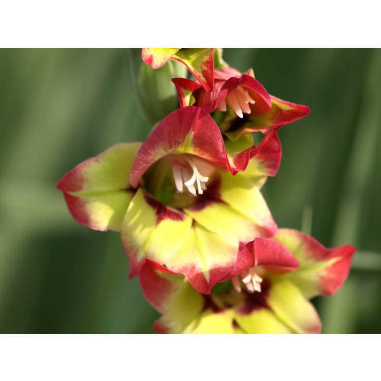 Gladiolus 'Flevo Kosmic' - hybrid gladiolus