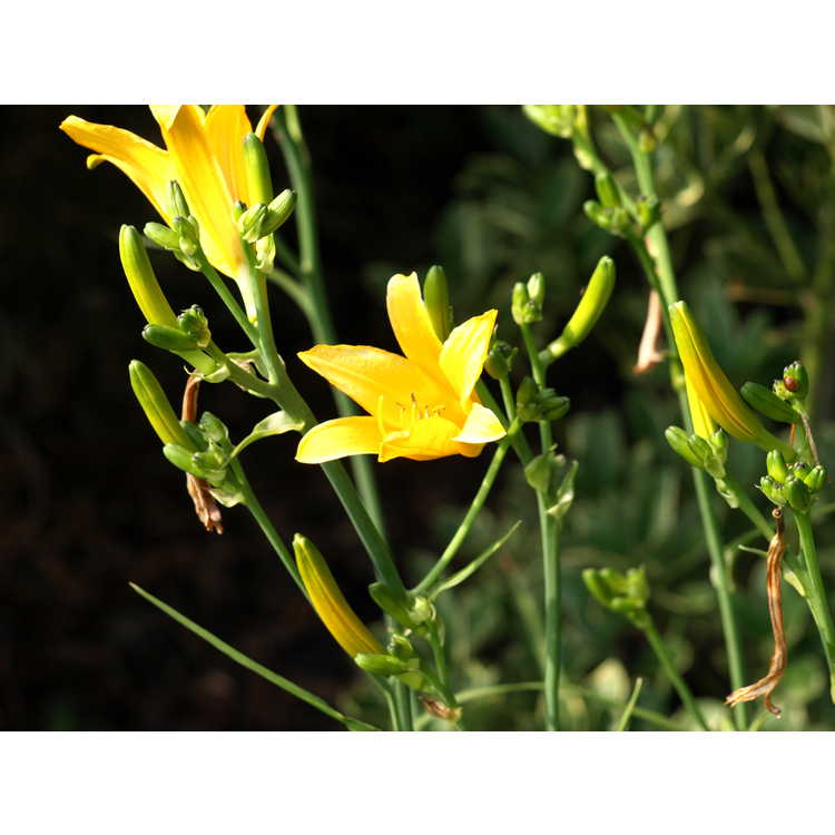 Hemerocallis yezoensis - Japanese daylily