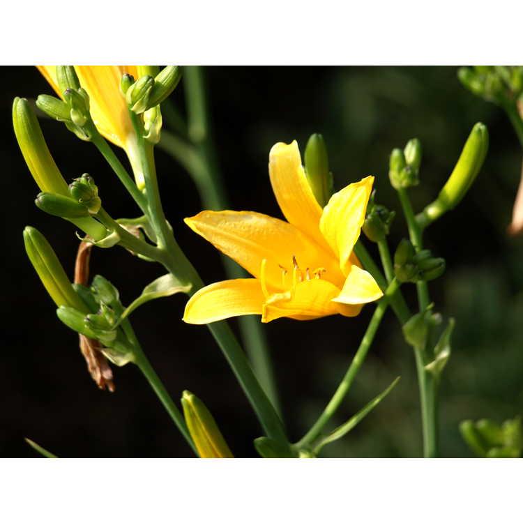 Hemerocallis yezoensis