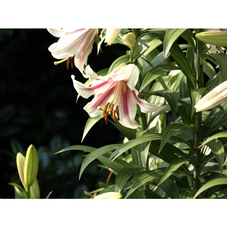 Lilium 'Touching'