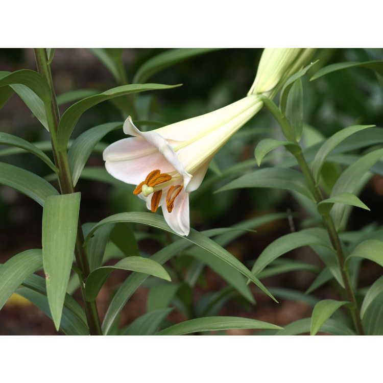 Lilium 'Pink Heaven' - hybrid lily