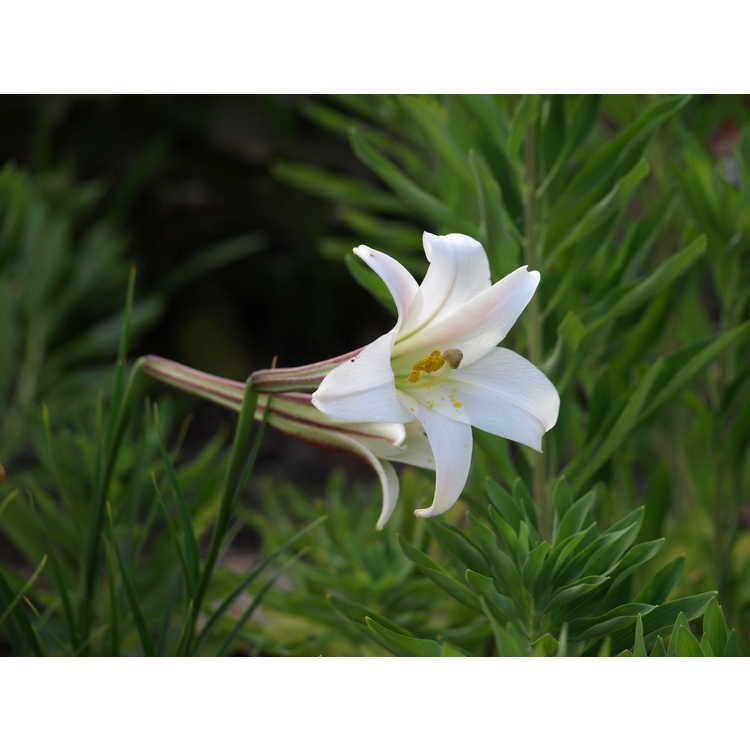 Lilium formosanum pricei