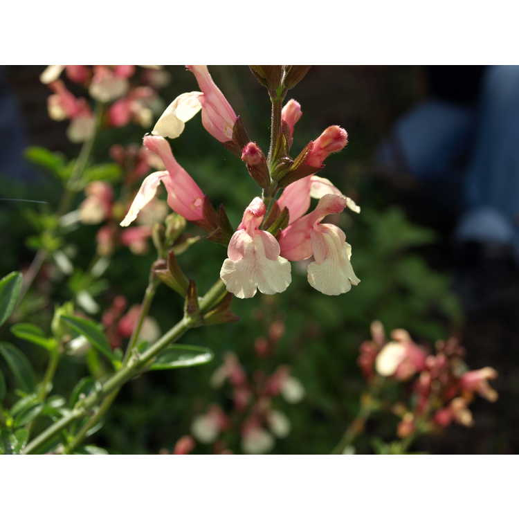 Salvia ×jamensis 'Sierra San Antonio'