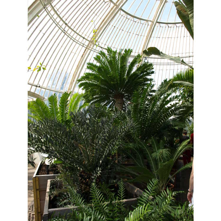 Palm House-cycad collection