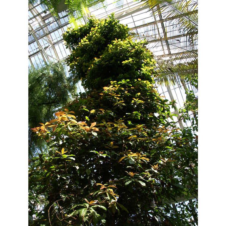 Quercus insignis