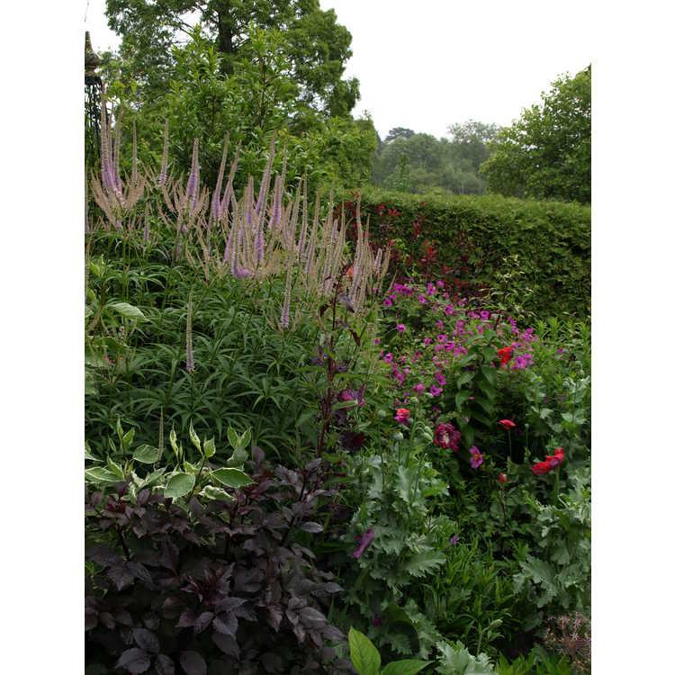 Veronicastrum virginicum 'Lavender Towers'