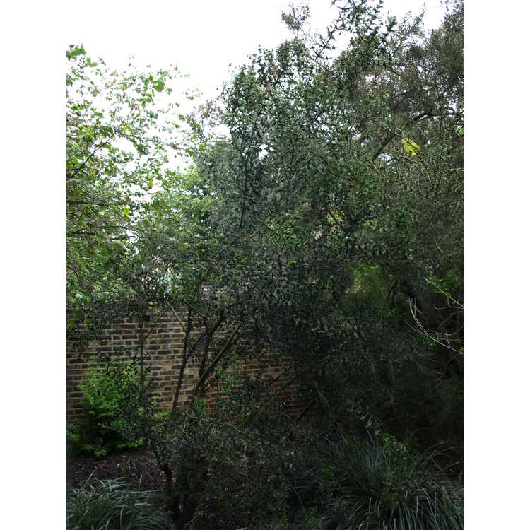 Colletia paradoxa