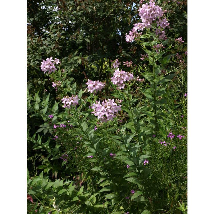 Campanula - bellflower