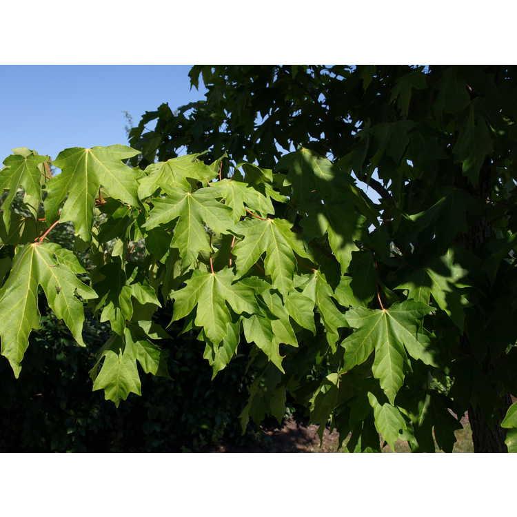 Acer miyabei - Miyabe maple