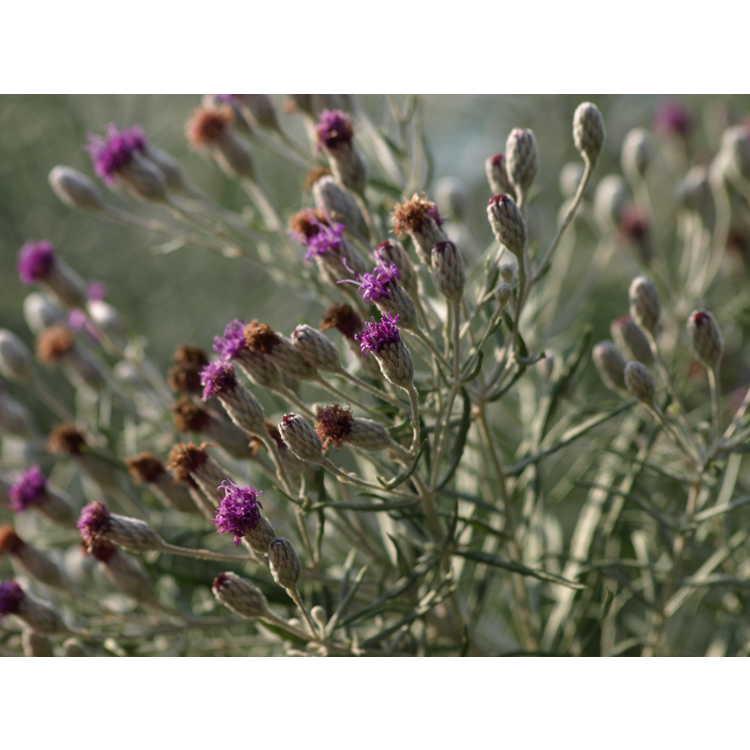 Vernonia lindheimeri - wooly ironweed