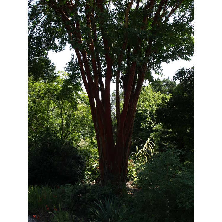 Lagerstroemia fauriei - Japanese crepe myrtle