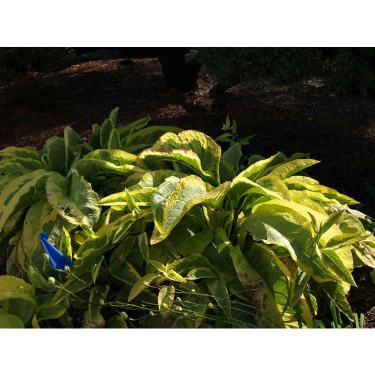 Symphytum ×uplandicum 'Axminster Gold' - variegated Russian comfrey