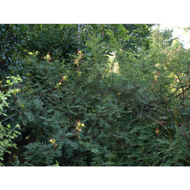 Caesalpinia gilliesii - desert bird-of-paradise