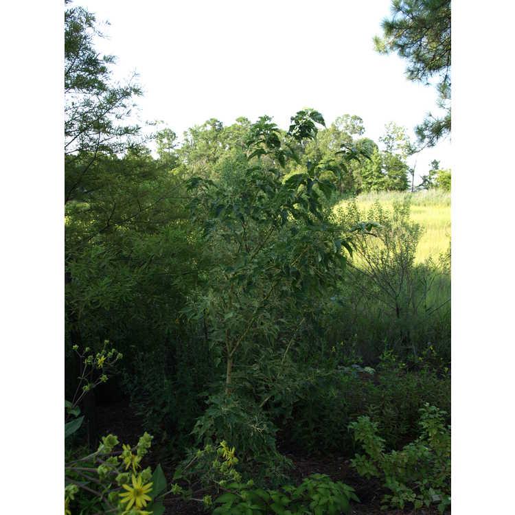 Acer caudatifolium 'Variegata'