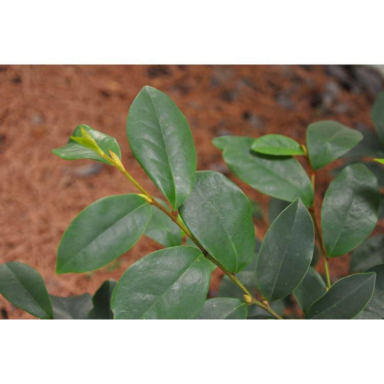 Magnolia figo 'Hagiwara Everblooming' - banana shrub
