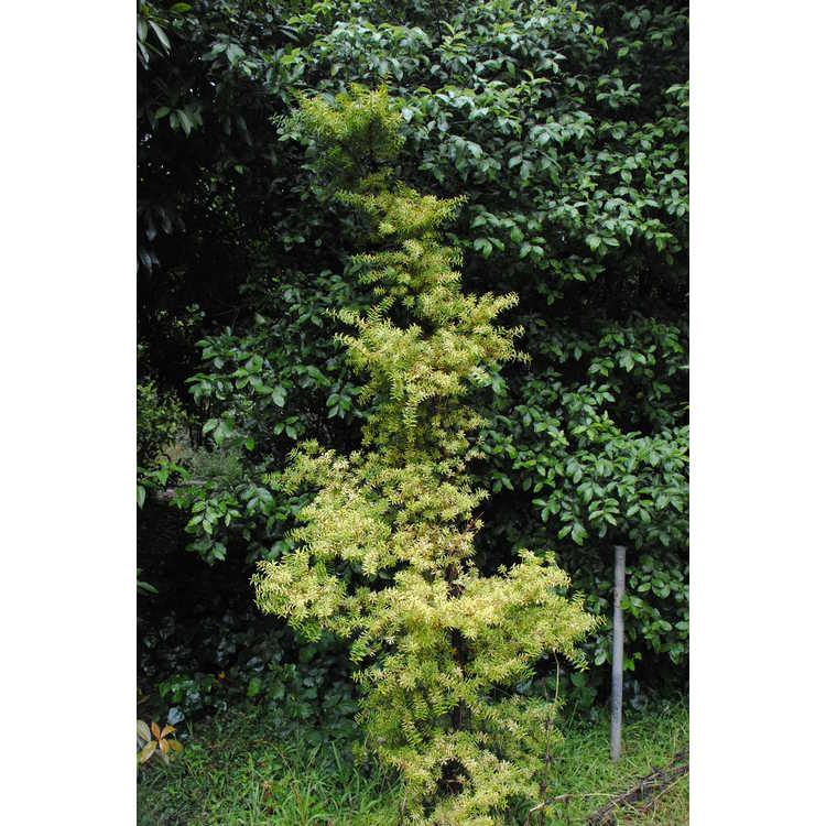 Podocarpus totara 'Aureus' - golden totara