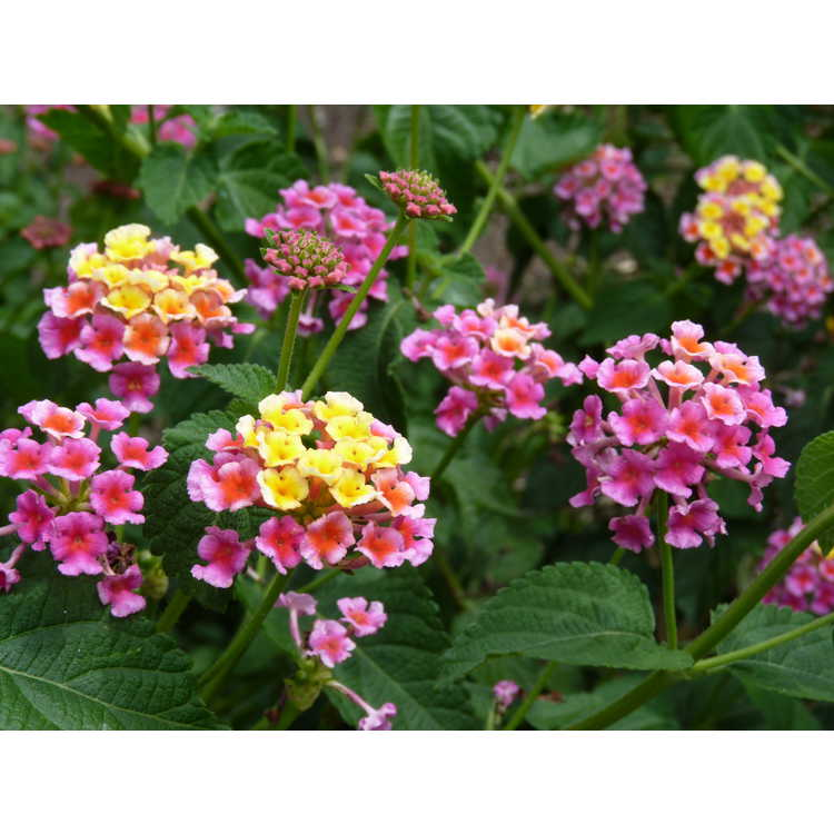 Lantana 'Sunset Beach'