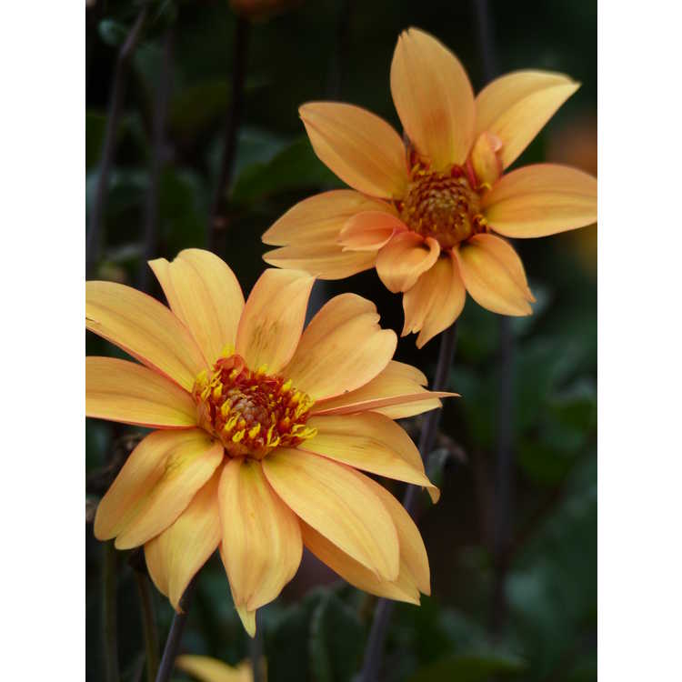 Dahlia 'Bishop of York' - garden dahlia