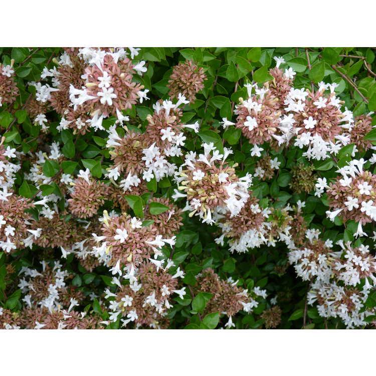 Abelia ×grandiflora 'Rose Creek' - glossy abelia