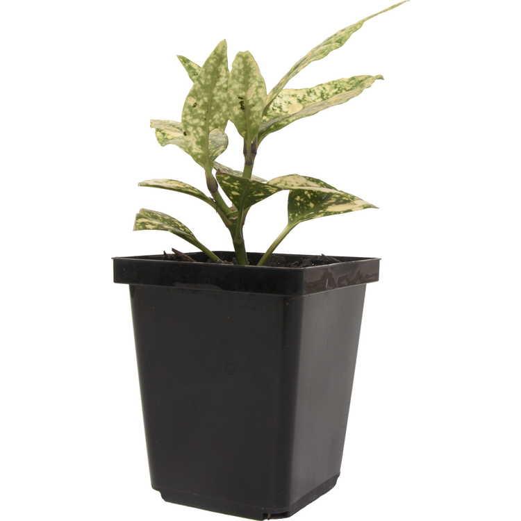 Aucuba japonica (USNA #4)
