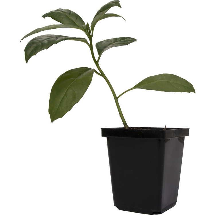 Ehretia longiflora
