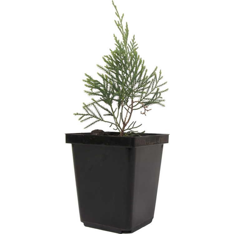 Juniperus virginiana 'Glauca Compacta'